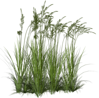 Tall Grass Png Hd PNG images