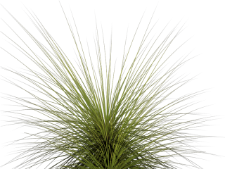 Tall Grass Png Images & Pictures PNG images