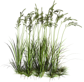 Tall Grass Png Pic PNG images