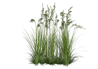 Tropical Plants Tall Grass Png PNG images