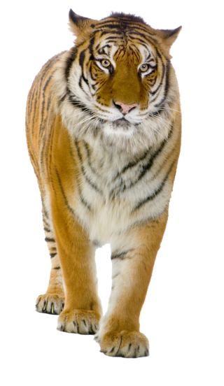Tiger PNG Picture PNG images