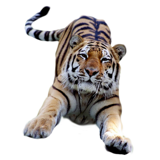 Photo Tiger PNG PNG images