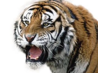 Download Tiger Picture PNG images