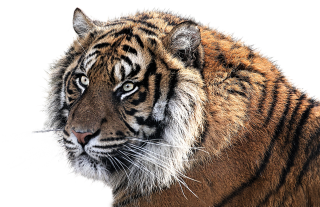 Clipart Collection Tiger Png PNG images