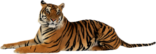 Browse And Download Tiger Png Pictures PNG images