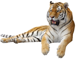 Pic Tiger PNG PNG images