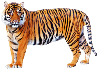 Tiger Png Images PNG images