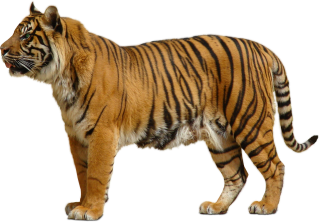 Download For Free Tiger Png In High Resolution PNG images