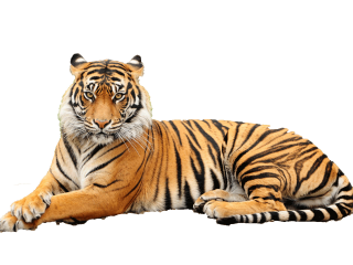 Get Tiger Png Pictures PNG images