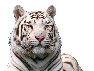 White Animal Tiger Png PNG images