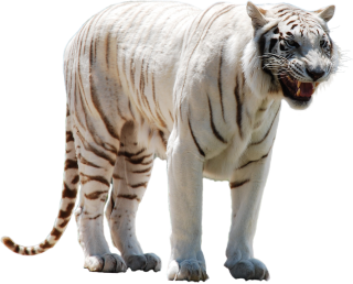 White Tiger Png Picture PNG images