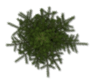Pine Tree PNG images