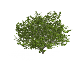 Plane Tree PNG images