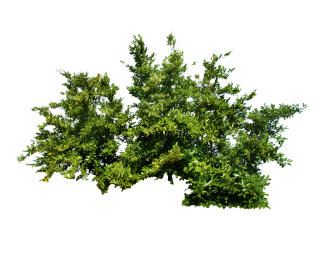 Png Bush Top Tree PNG images