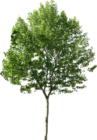 Tree Png Available In Different Size PNG images