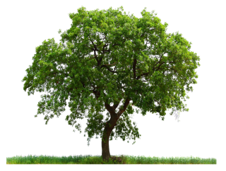 High Resolution Tree Png Icon PNG images