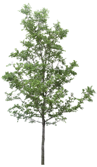Download And Use Tree Png Clipart PNG images