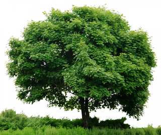 Tree In Png PNG images