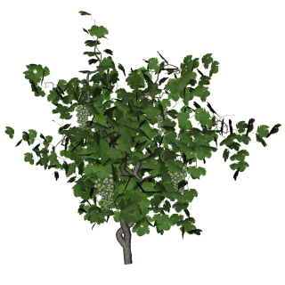 Grape Vine Png PNG images