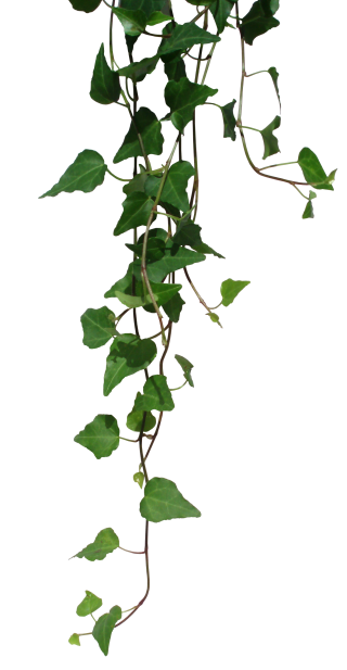 Transparent Vines Png PNG images