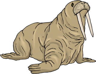 Walrus Photo The Crease The Color Of The Stone Hardcover PNG images