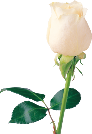 Flowering Plant Botany Rose Family PNG images