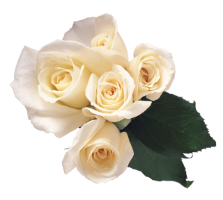 Rose Flower / White Download Flower Picture PNG images