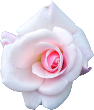 White Cabbage Rose, Garden Roses, Flower PNG images