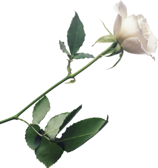 White Rose Background, Plant Stem Botany Flowering Plant PNG images