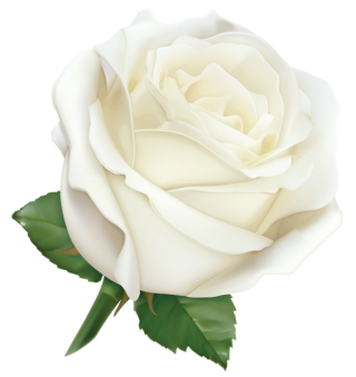 White Rose PNG Hybrid Tea Rose Leaf PNG images