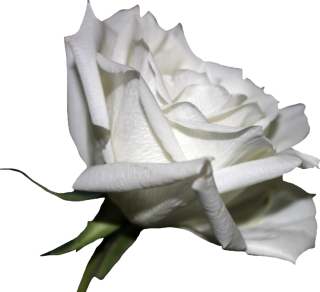 White Rose PNG Pic PNG images