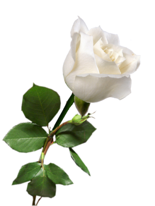White Rose Transparent Flowering Plant White Petal PNG images