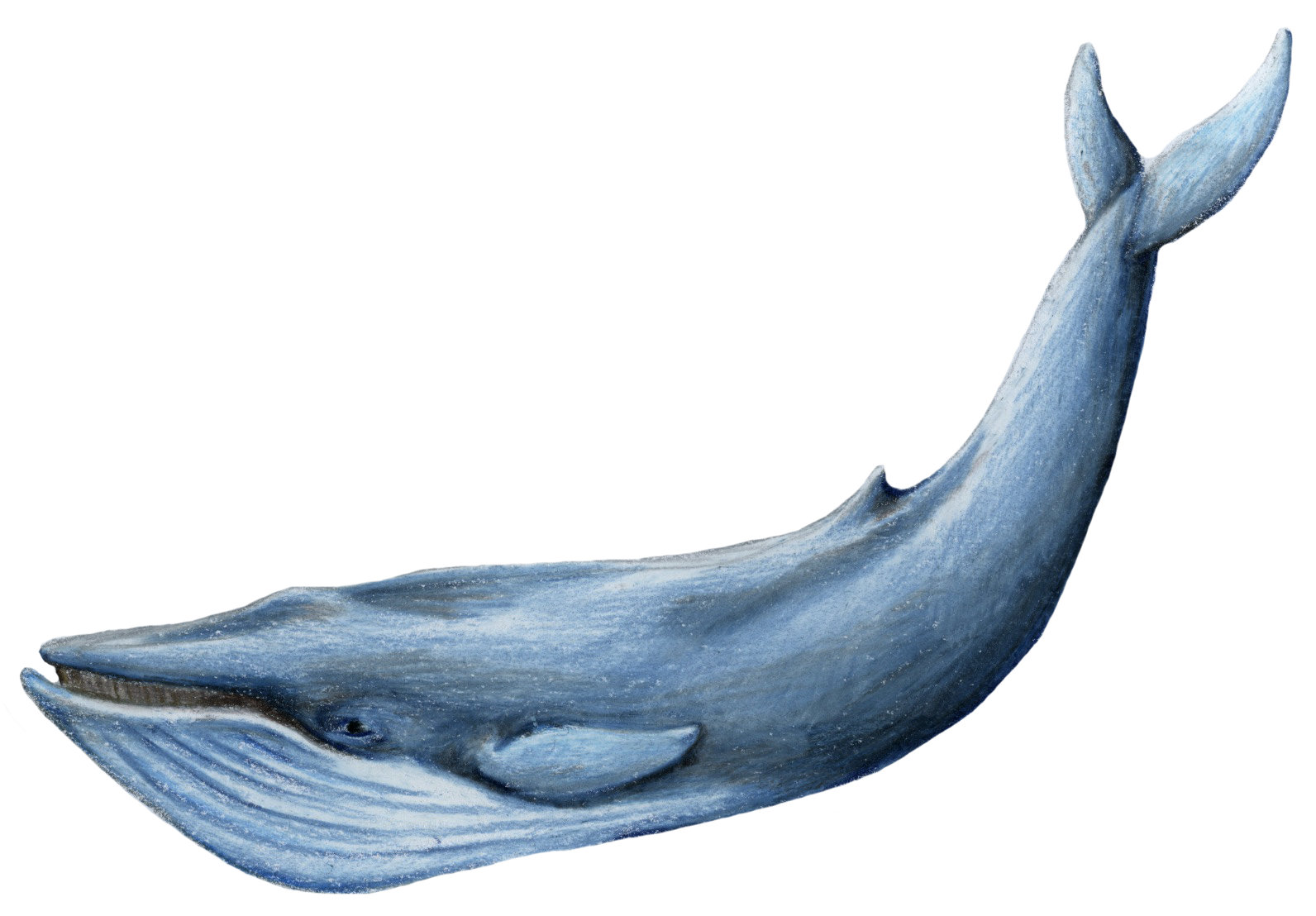 Lord Of The Sea Whale Transparent Background image #47803