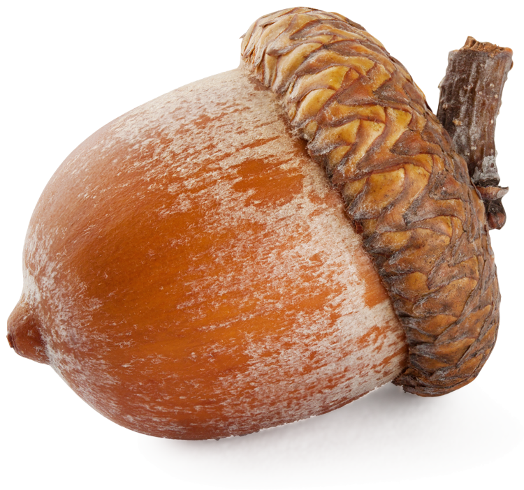 Download And Use Acorn Png Clipart