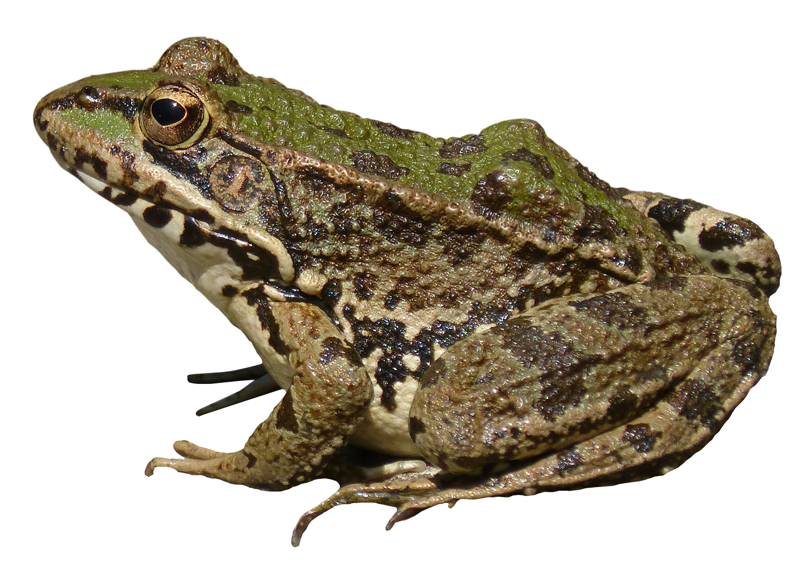 Amazing Frog PNG Image
