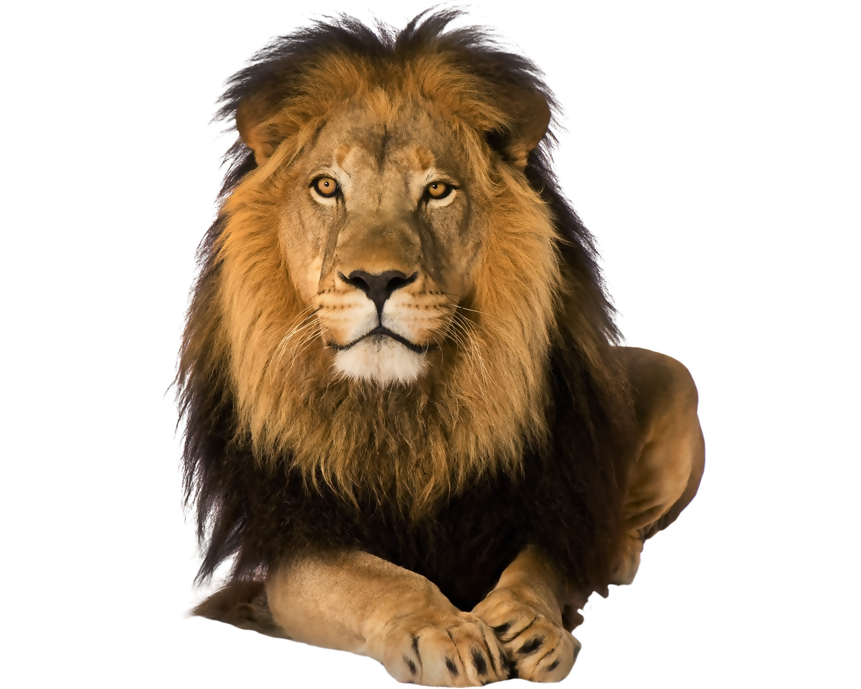 lion transparent png pictures free icons and png backgrounds clip art of a lion in snow clip art of a lion face