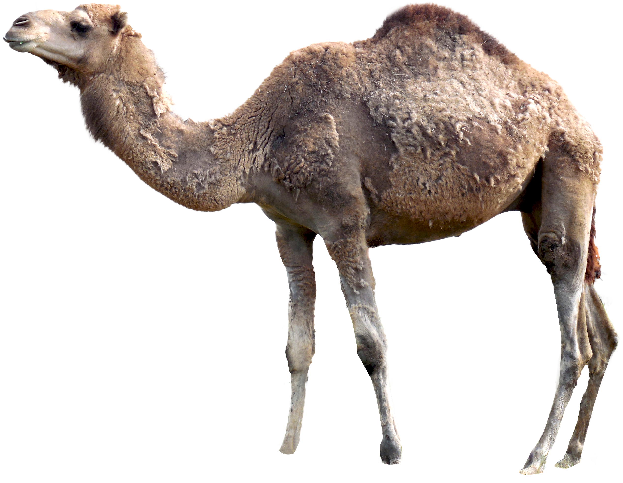 Free Download Of Camel Icon Clipart image #37095