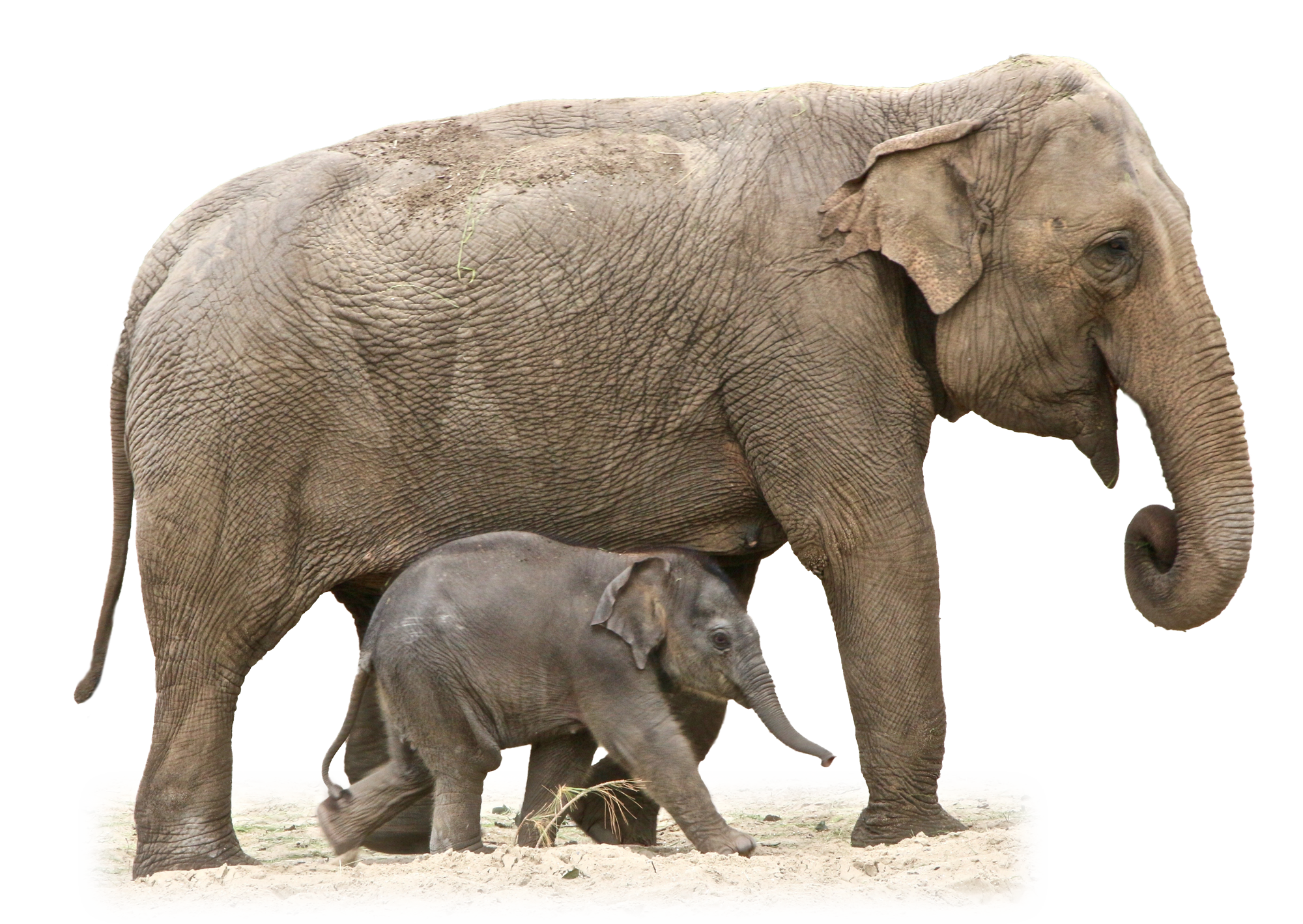 Animal Elephant And Baby Png 43224 Free Icons And Png