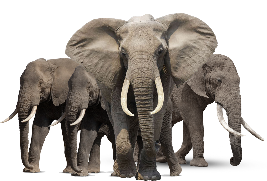 Animal Elephant Family png