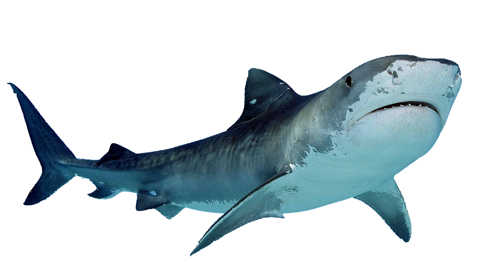 Download Shark Free Images Png