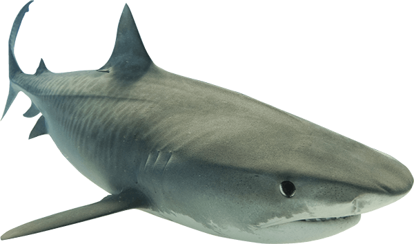Animal Shark PNG Clipart image #42750