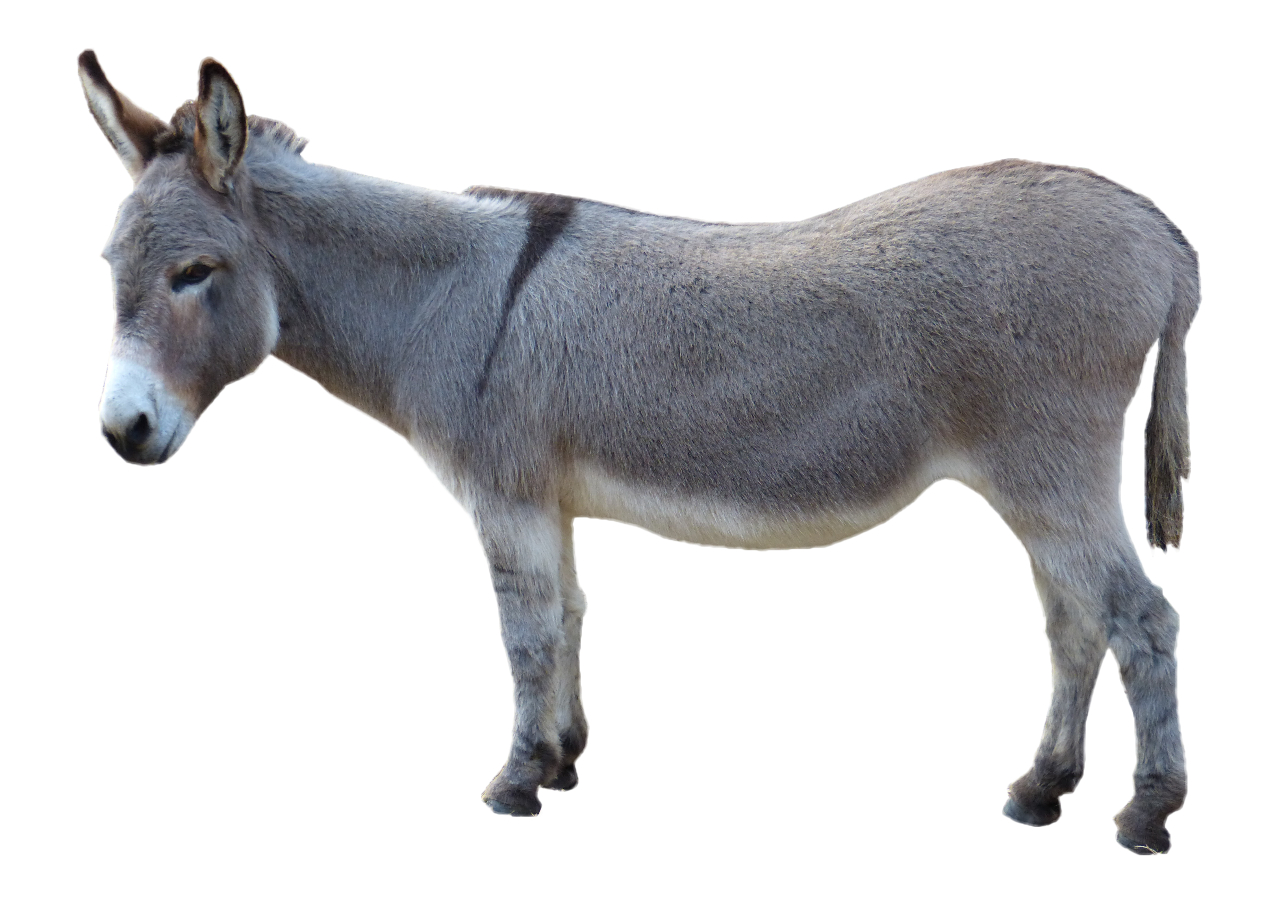 Asinus Photograph Clip Art Grey Donkey Picture image #47512