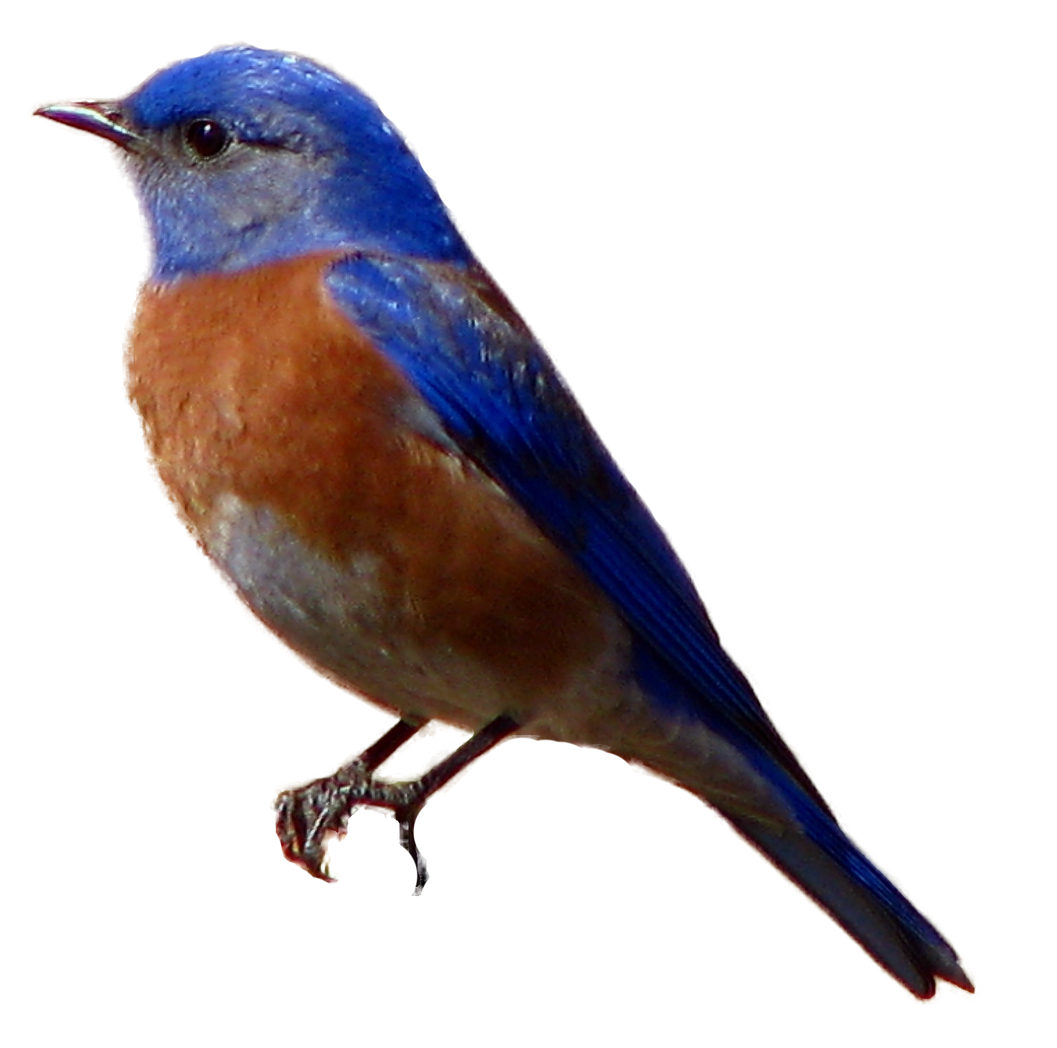 Avian, western blue bird #3508 - Free Icons and PNG Backgrounds