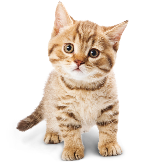 Baby Cat Png image #40358