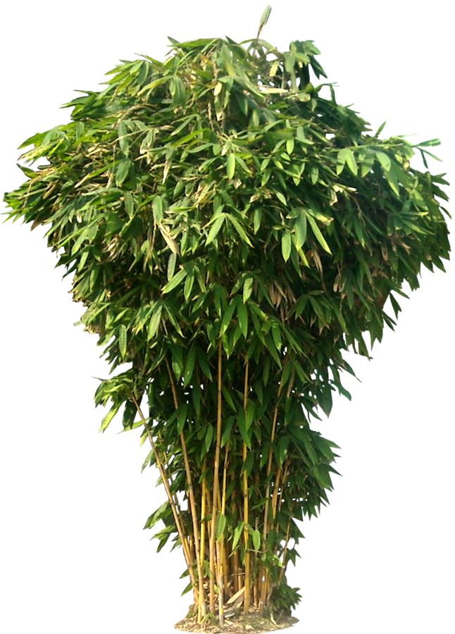 Bamboo Tree Png image #40469