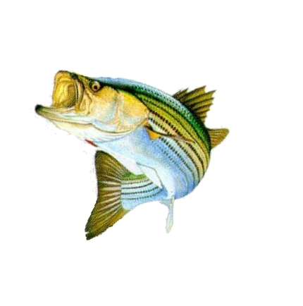 Bass Fish Png Stripped Bass Png image #41462