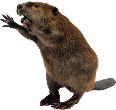 Beaver Background