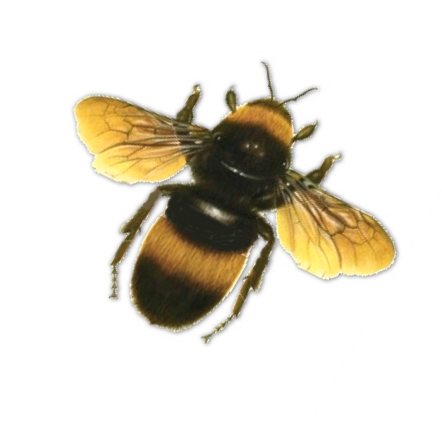 Bee In Png image #45389