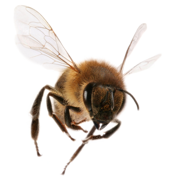 Bee Png Available In Different Size image #45401