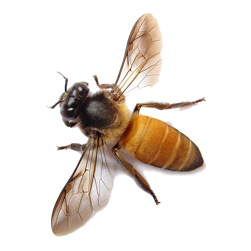 Bee Transparent Image PNG image #45388